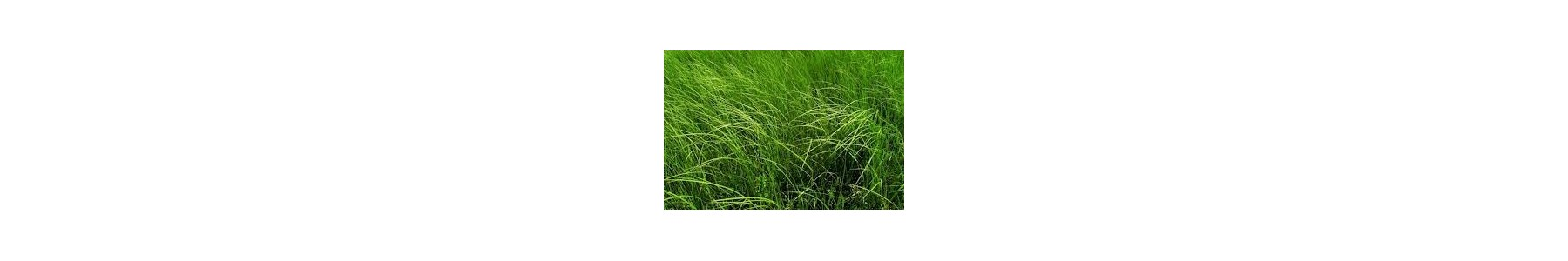 Nasiona traw - Trawa Barenbrug