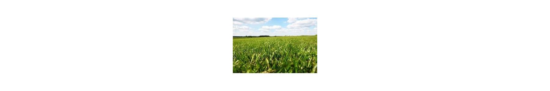 Nasiona traw - zielony trawnik na boiska sportowe i pola golfowe